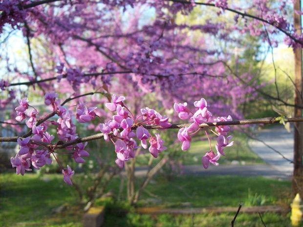 Eastern Redbud Boston