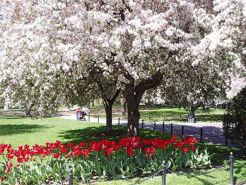 Springtime in the Public Garden. Photo by gocardusa. Used with permission.